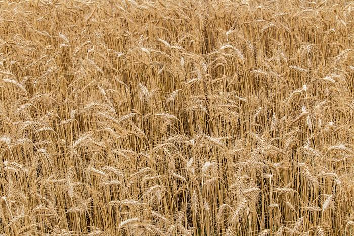 kozzi-fields of wheat 14-883x588