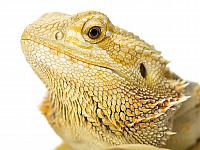 kozzi-260848-head shot of a lizard-2251x1687