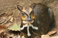 Mouse Deer - Chevrotain